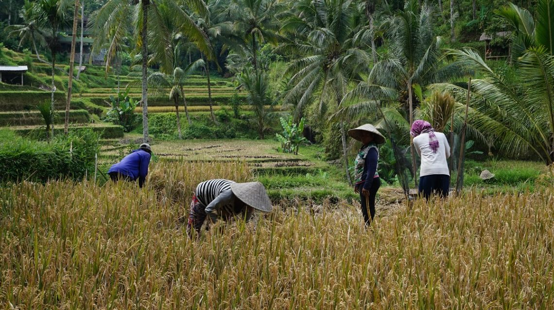 Bali, rizière, île des Dieux, voyage, Vitaminsea, wanderlust, palmiers, cocotiers, jungle